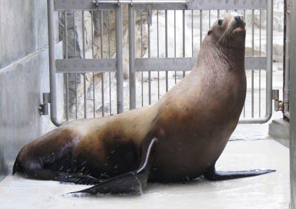 千葉県で発見され、鴨川シーワールドに保護された「トド」