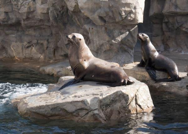 ロッキーワールド内 「トドの海」に移動されたトド「サチ」