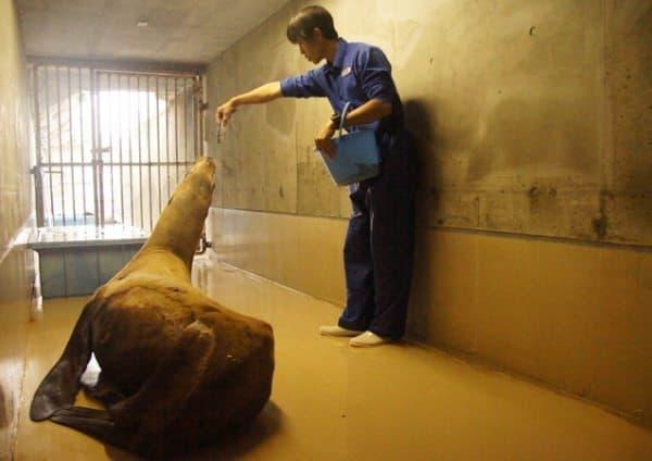 11月12日に鴨川シーワールドが公開したトドの画像