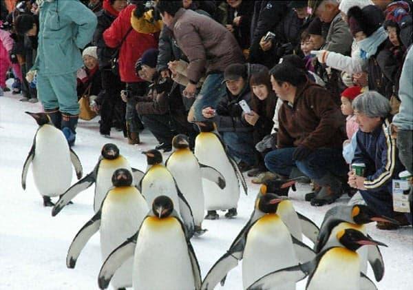 旭山動物園で、ペンギンのお散歩を見学