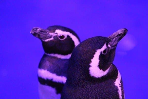 ペンギンたちも鳴き声で演奏に参加(?)