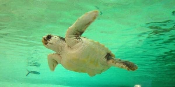鴨川シーワールドの特別レクチャー「ウミガメの保護活動」