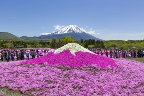「2015富士芝桜まつり」、4月18日から開催  (画像は、ミニ芝桜富士山)