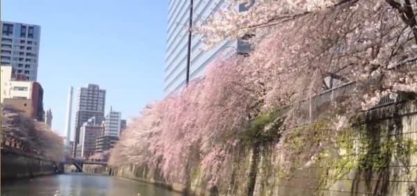 都心に広がる桜のベール