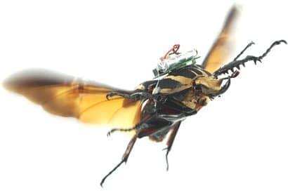 """米国カリフォルニア大学バークレー校とシンガポール南洋理工大学が、  昆虫の""""操縦""""に関する新たな技術を公表  (Photo by Tat Thang Vo Doan and Hirotaka Sato/NTU Singapore)"""