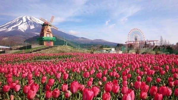 「富士山の裾野 天空のチューリップ祭り2015」開催  画像は4月24日朝時点の開花状況(ぐりんぱの Facebook より)