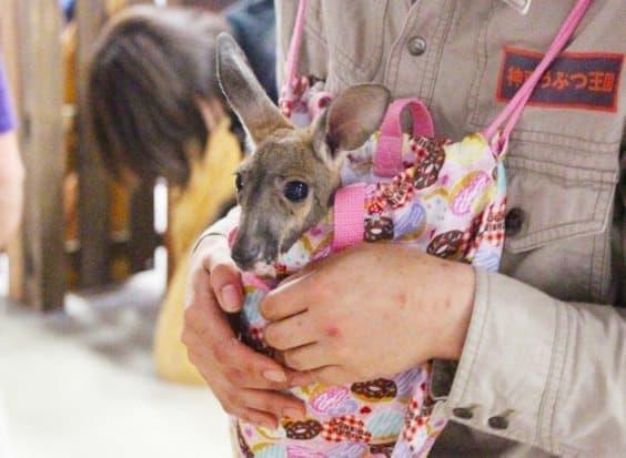 神戸どうぶつ王国のカンガルーの赤ちゃん