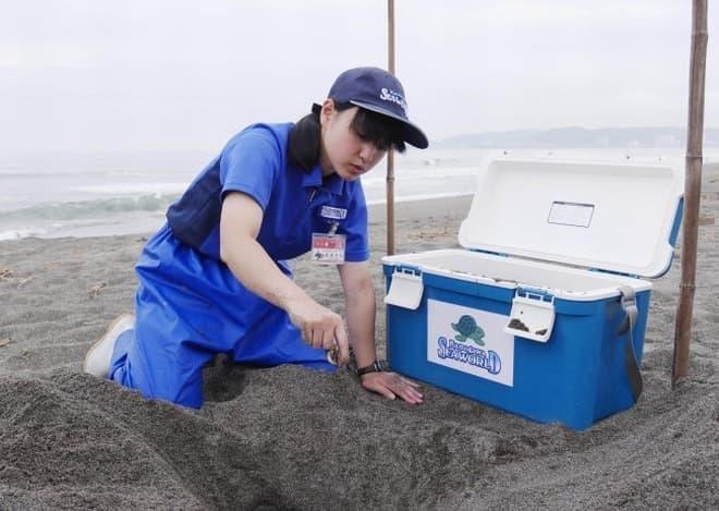 アカウミガメの卵を、鴨川シーワールドが保護