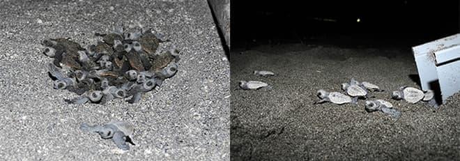 鴨川シーワールドでふ化し、海へ旅立った子ガメ(2014年8月15日)