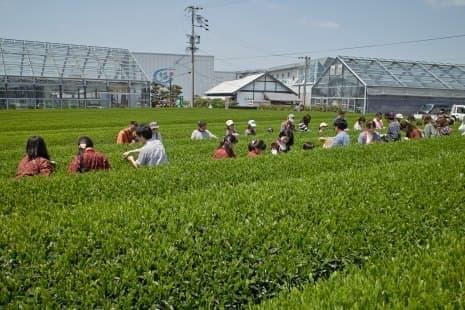 グリンピア牧之原での茶摘み体験(イメージ)