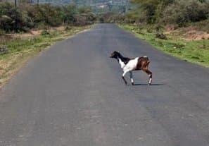 海外では、ヤギなどの小動物が障害物となることも、ままある