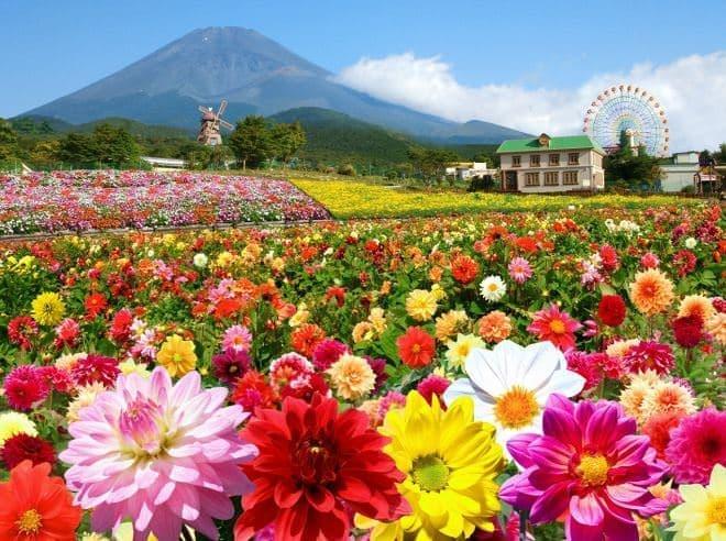 「富士山の裾野 天空のダリア祭り 2015」、本日(7月18日)開幕!