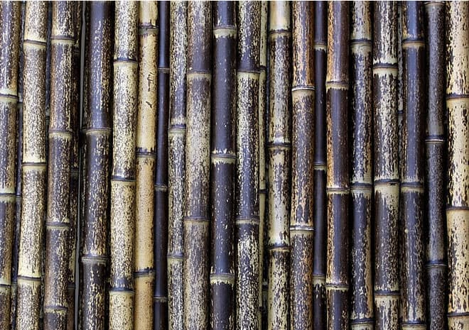 虎模様が浮き上がる不思議な竹「虎斑竹」