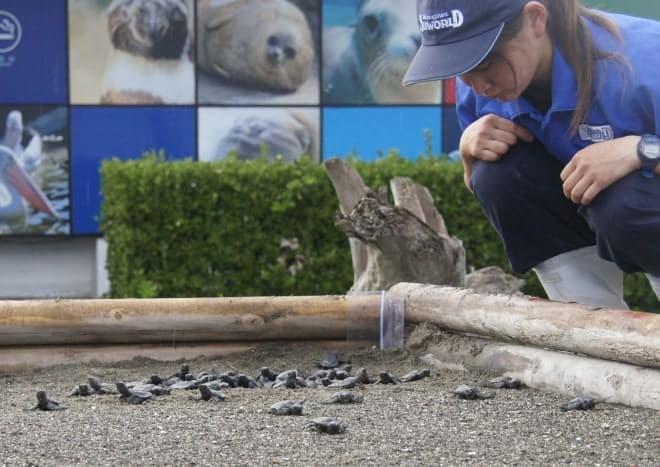 「ウミガメの浜」で保護されていたアカウミガメの卵から94匹の子ガメがふ化