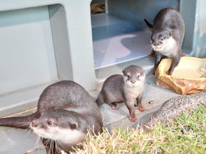 カワウソの赤ちゃん、1月16日から一般公開開始 サンシャイン水族館で