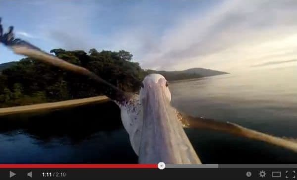 人から飛び方を習ったペリカン  ペリカンは乗り物ですか?  (出典:GoPro)