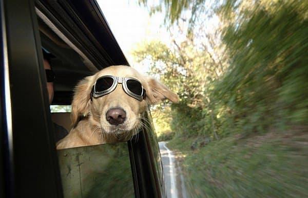 かつては自動車に乗せられていた犬たちが、