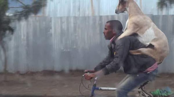 ヤギは男性の肩に行儀よく前足をのせ、おとなしく運ばれています  (画像出典:YouTube ユーザー Nuno Sa 氏)