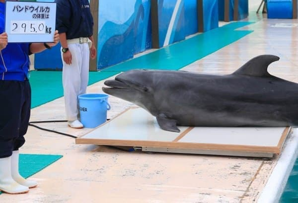 バンドウイルカは、自らさっそうと体重計に乗ります
