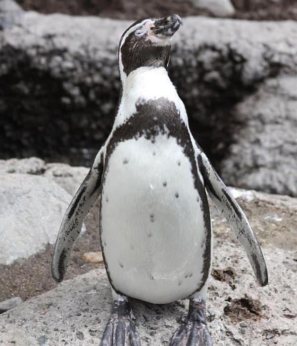 鴨川シーワールドの「フンボルトペンギン」  この子は、起きてます