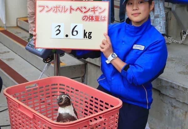 フンボルトペンギンの体重は3.6キロ!