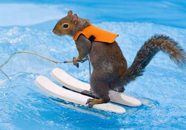 水上スキーをするリス Twiggy (画像出典:Augusta Outdoor Expo)