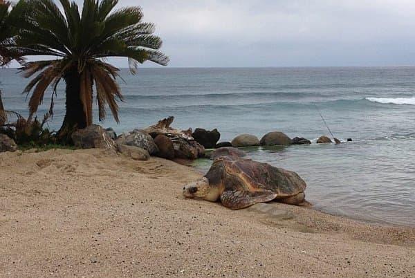 「ウミガメの浜」から脱走を試みるウミガメ  起きてます