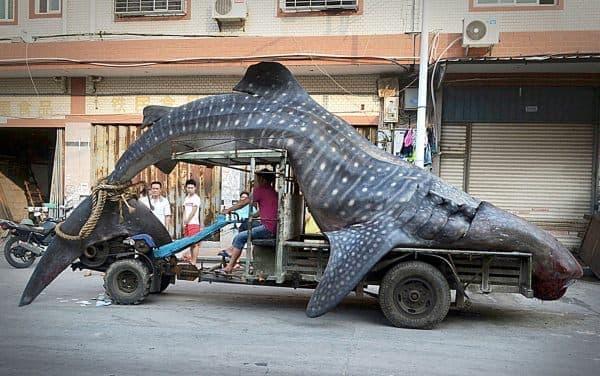 ジンベイザメをトラックで運ぶ(画像出典: Daily Mirror )