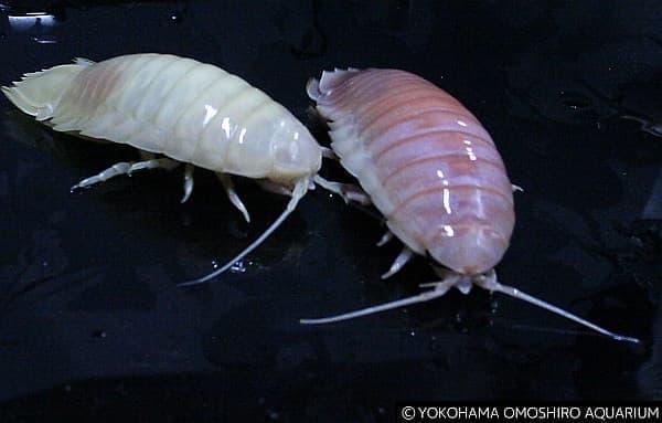 左:白いオオグソクムシ 右:通常のオオグソクムシ